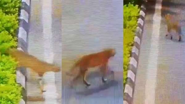 lockdown: wild animal spotted crossing near Chengalpattu road, shocking video