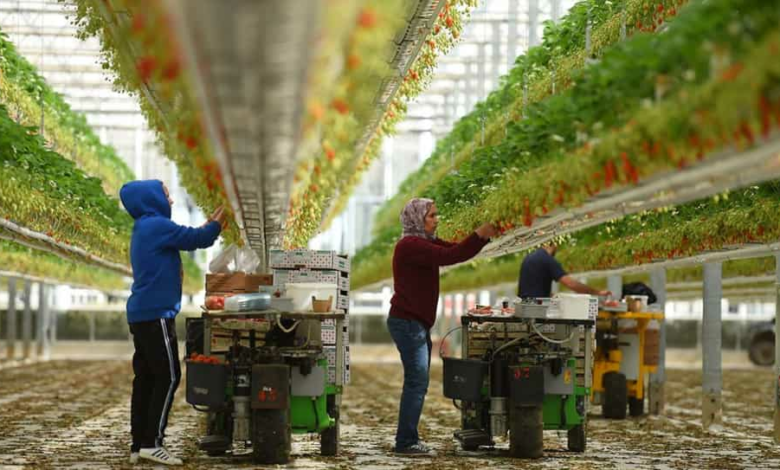 Workers pick strawberries in a farm in Sainte-Livrade-sur-Lot, France, on March 24.