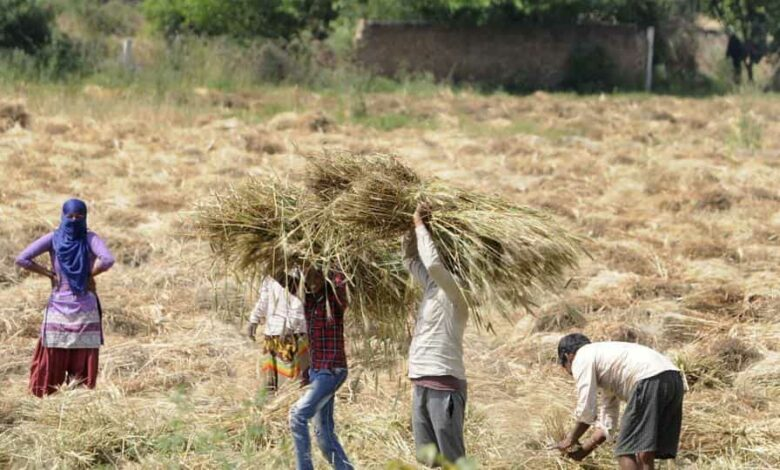 Farm workers harvest crop on the 18th day of the lockdown, Greater Noida, April 11, 2020