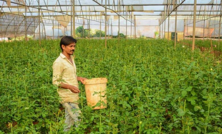 A worker of Green Valley Nursery from Parandwadi in Maval district cuts rose flowers in a nursery.