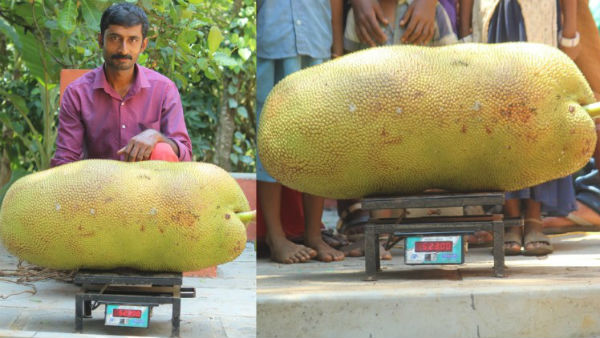 wayanad giant 52 kg jackfruit entry in to guinness record book